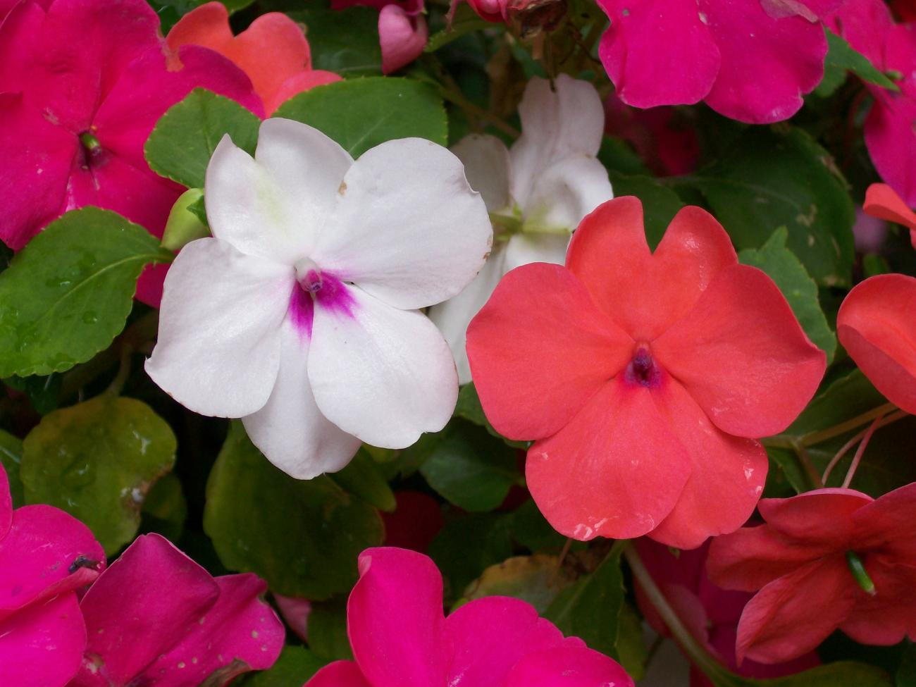 Impatiens how to plant grow and care for impatiens flowers the impatiens mightylinksfo
