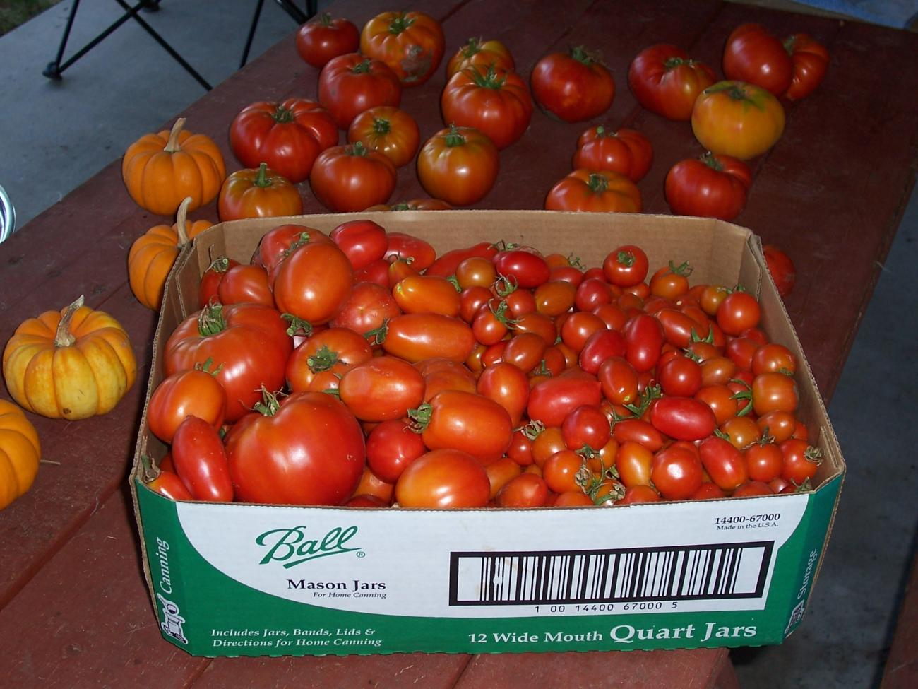 Backyard Tomatoes