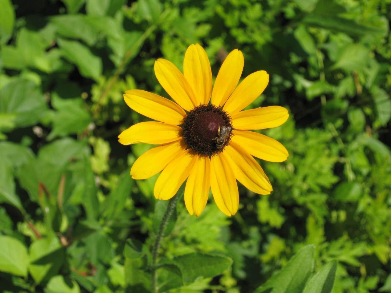 Black eyed susans how to plant grow and care for black Black eyed susans