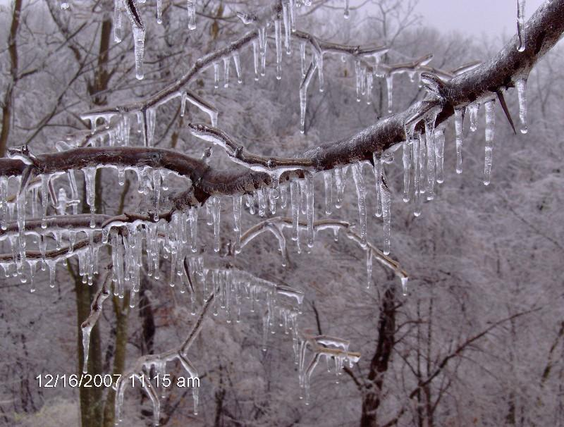 Iced Tree Limbs