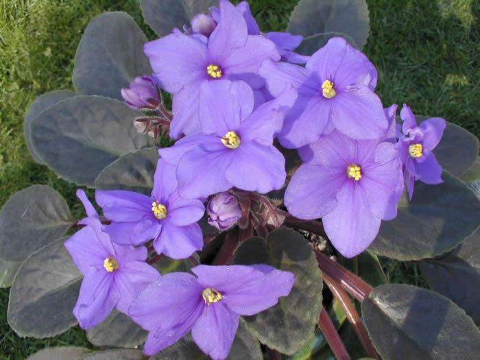 African violets houseplants the old farmers almanac african violet mightylinksfo