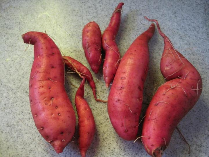 Sweet Potato Experiment