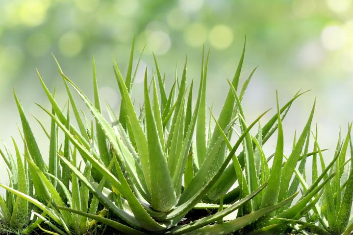 Aloe Vera How To Care For Aloe Vera Plants The Old Farmer S Almanac