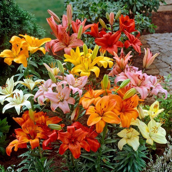 Asiatic Lily Full Width Jpg