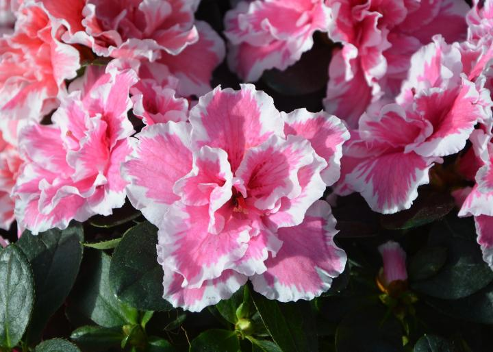 Azalea varieties how to grow azaleas the old farmers almanac azalea flowers mightylinksfo