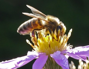 bee in august