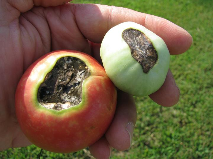 Blossom End Rot How To Identify Control And Prevent