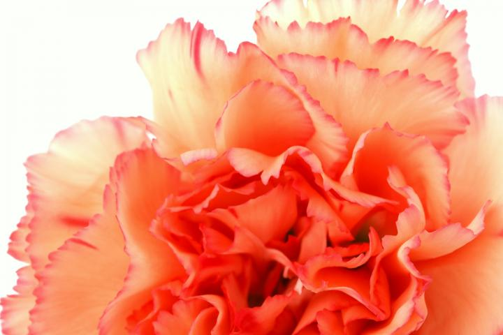 January Birth Flower The Carnation