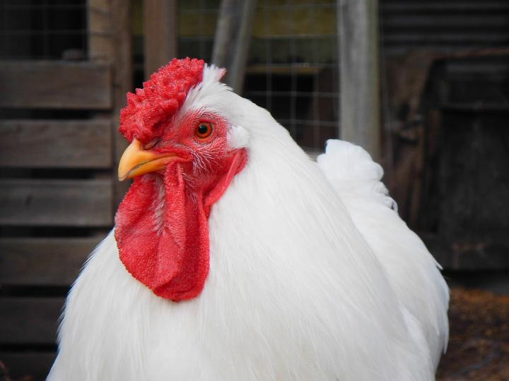 chicken-breeds-raising-chickens.jpg