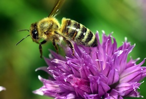 bee on chive blossom