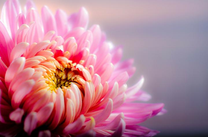November birth flower, the chrysanthemum