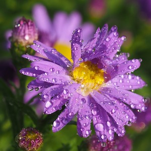 raindrops on aster