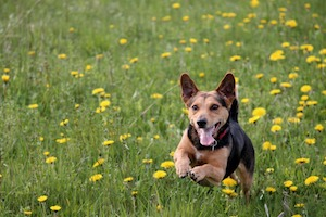 dog in dandelions