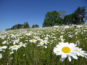 daisies in field