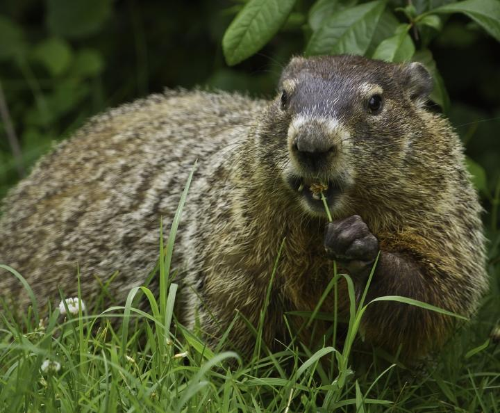 get-rid-of-groundhogs.jpg