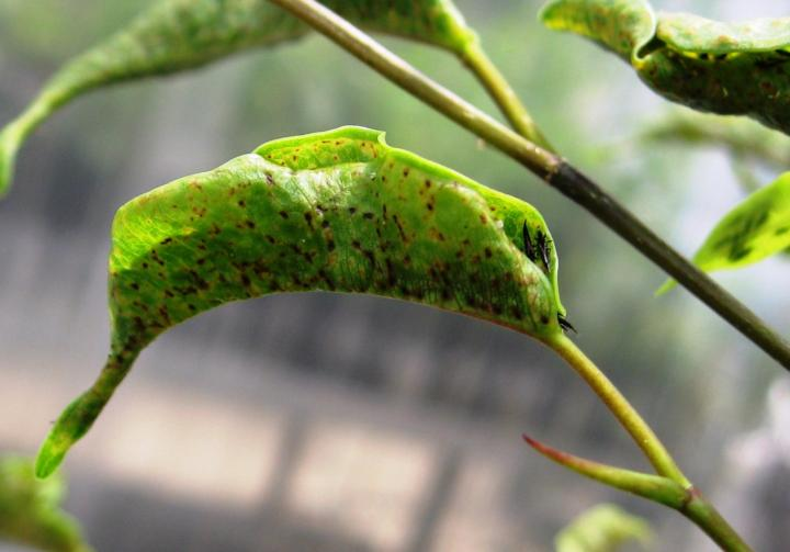 how to prevent thrips