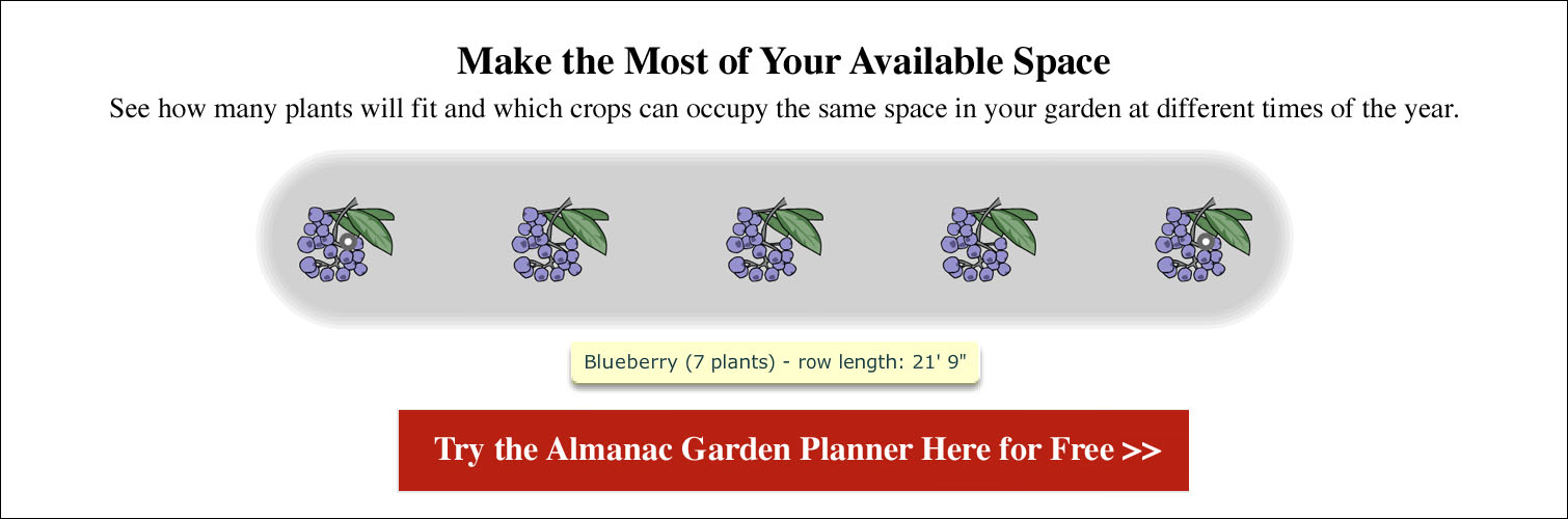 Blueberries: Planting, Growing, and Harvesting Blueberries | The Old