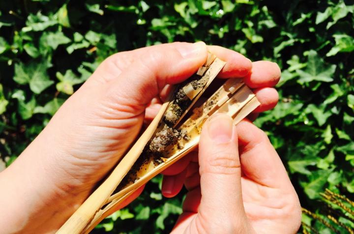 Harvesting bee cocoons. Photo by Crown Bees.