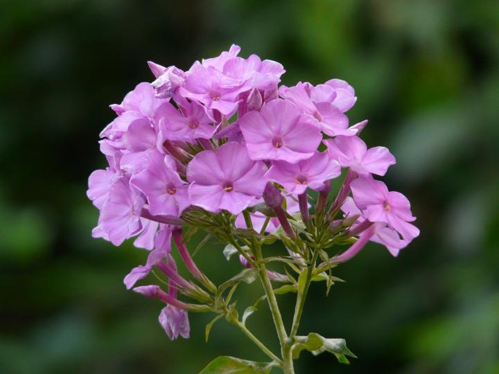 Perennial flowers how to grow and care for perennials the old high perennial phlox 84151920fullwidthg mightylinksfo