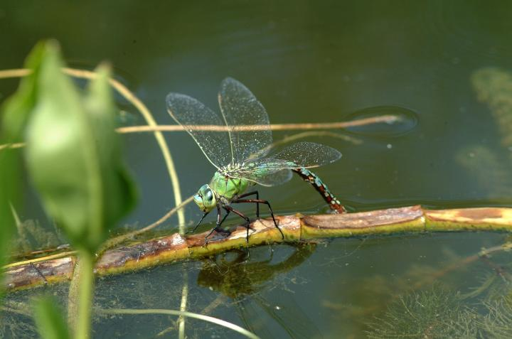 Dragonfly And Damselfly Facts Meaning And Habitat How To Attract