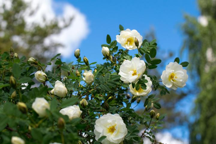 how-to-overwinter-roses.jpg