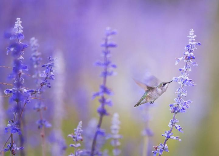 Hummingbird at purple flowers