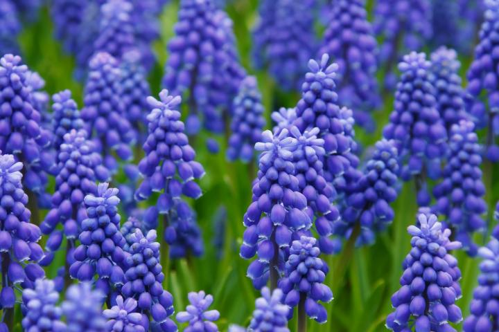 hyacinth and muscari planting and caring for hyacinth bulbs the