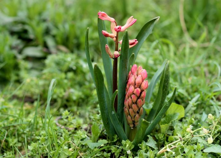 Hyacinth emerging in spring
