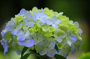blue hydrangea with green leaves