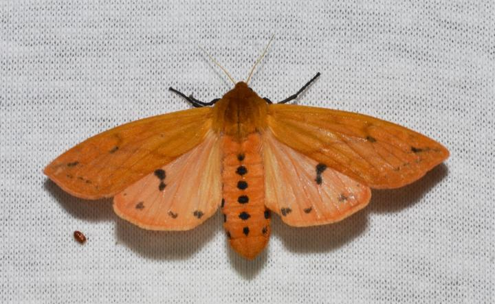 Isabella Tiger Moth. Photo by Andy Reago & Chrissy McClarren/Wikimedia Commons.