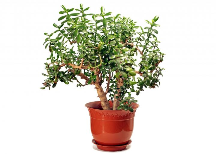 Jade plant. Photo be trambler58/Shutterstock.