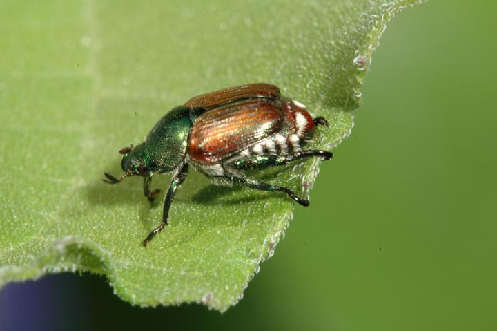 japanese beetle identification control jpg. How to Get Rid of Japanese Beetles   Control Bugs and Garden Pests