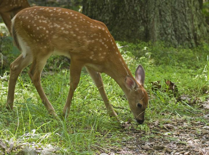 Deer Damage In Your Garden