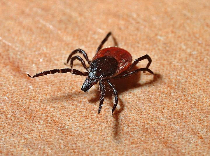 lyme-disease-symptoms-ticks.jpg