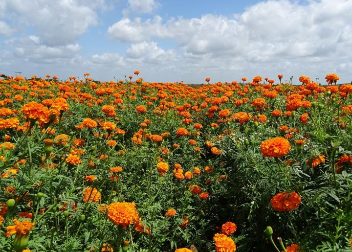 Field of marigold flowers