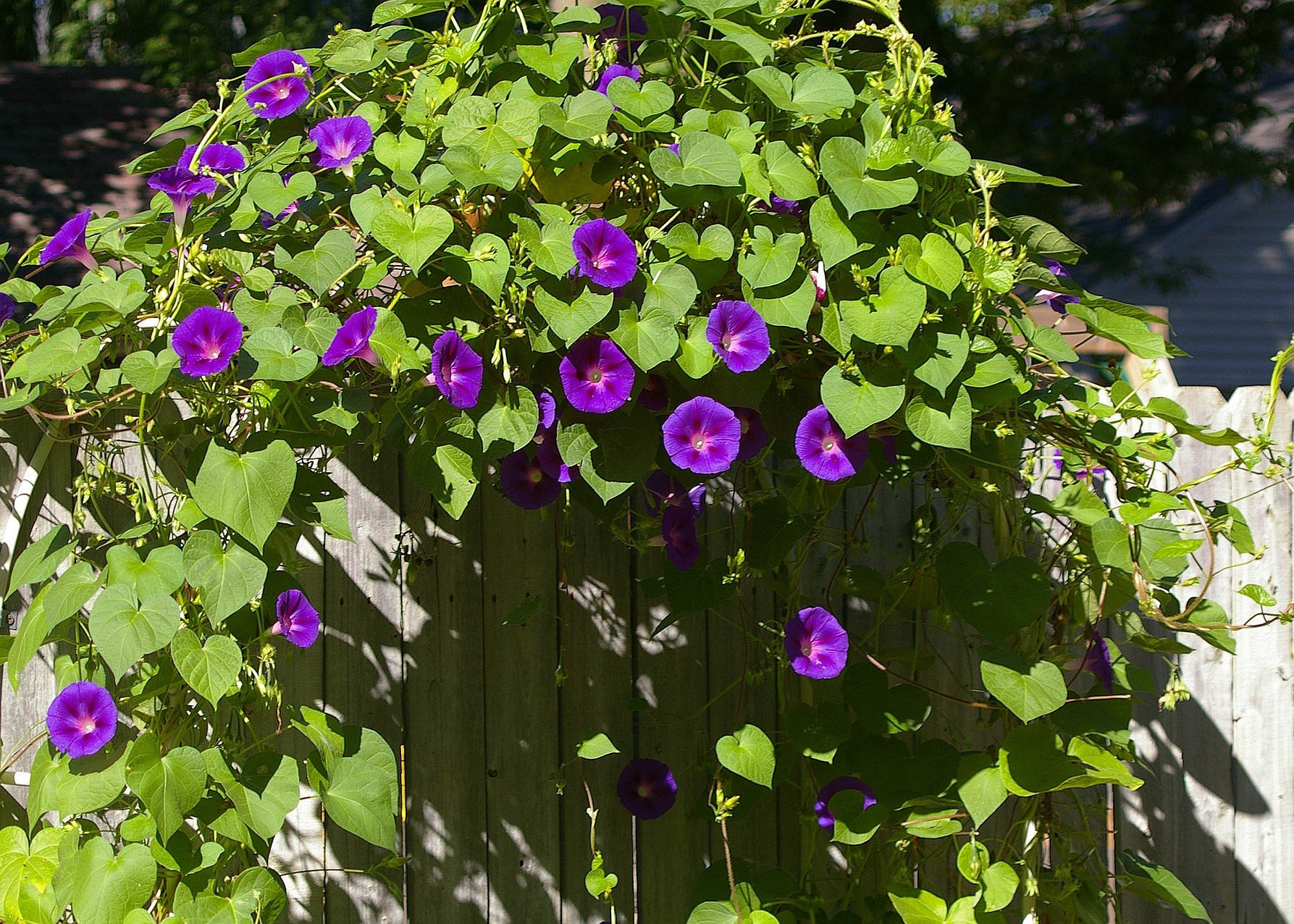 Morning Glories How To Plant Grow And Care For Morning Glory