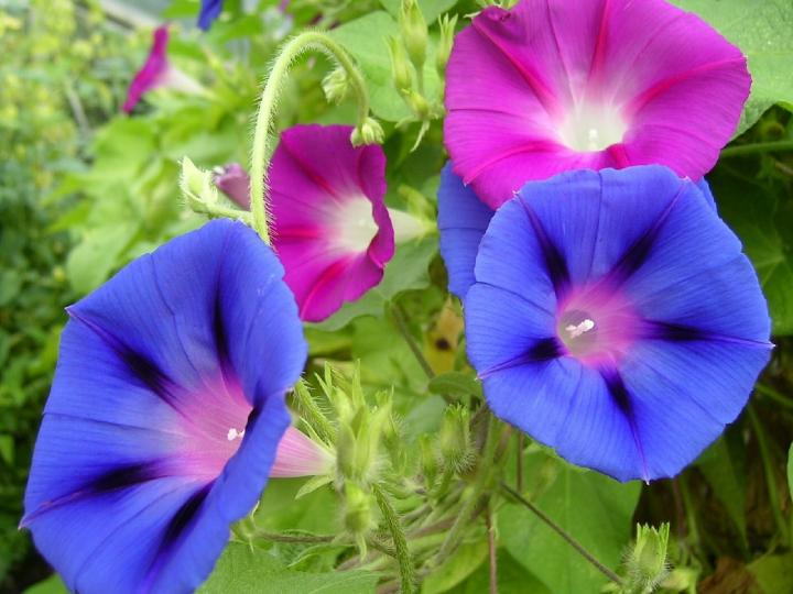 Morning glory, September birth flower, The Old Farmer's Almanac