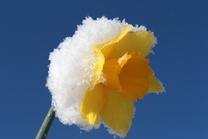 daffodil with frost