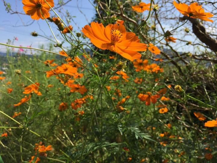 Cosmos how to plant grow and care for cosmos flowers the old orange cosmos fieldg mightylinksfo