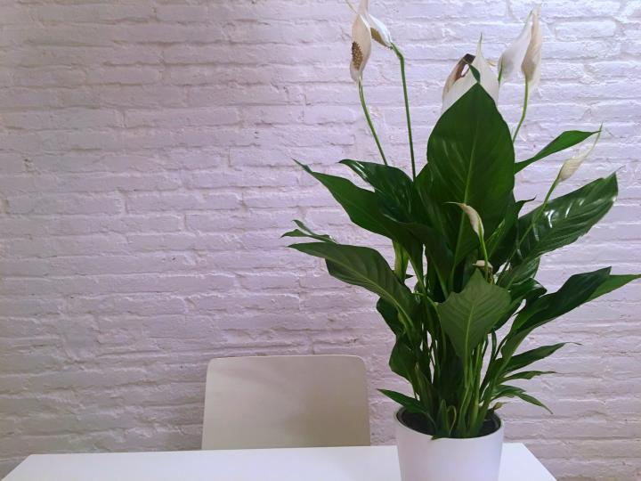peace lilies how to care for peace lily plants the old farmer 39 s almanac. Black Bedroom Furniture Sets. Home Design Ideas