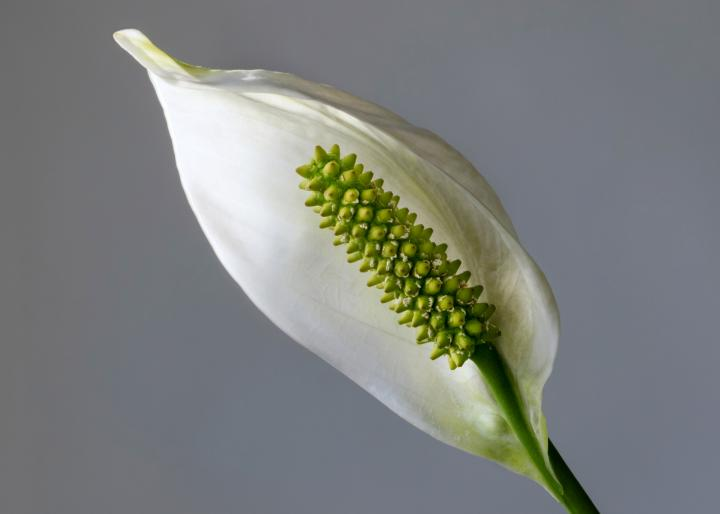 Peace Lily flower. Photo by W. Carter/Wikimedia.