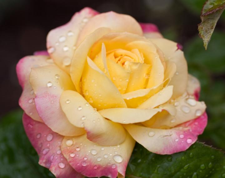 'Peace' Rose. Photo from Wikipedia.