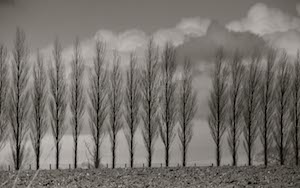 poplar trees in november