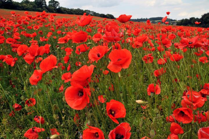 When is memorial day 2018 the old farmers almanac the poppy a symbol of memorial day publicscrutiny Image collections