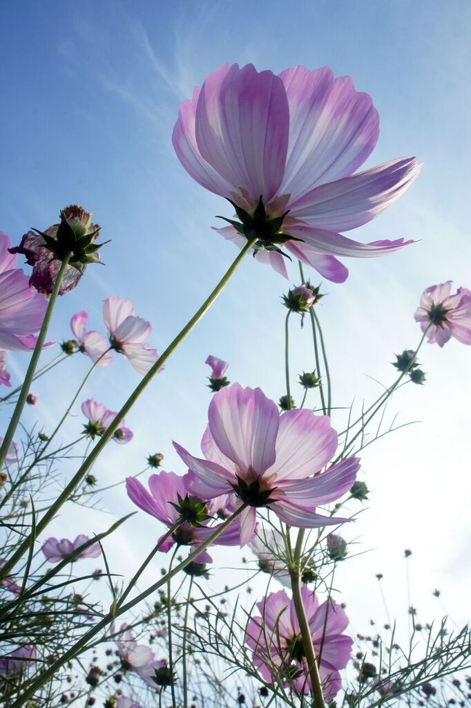 Cosmos how to plant grow and care for cosmos flowers the old purple cosmos harvestg mightylinksfo
