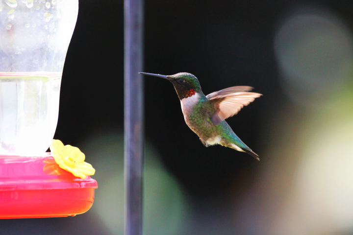 red-throated-hummingbird_full_width.png