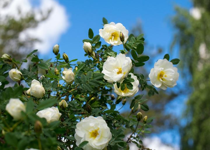 Roses planting growing and pruning roses the old farmers almanac white roses mightylinksfo