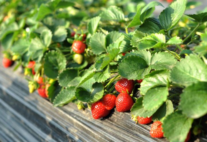 strawberry_bed_shuchunke_gettyimages_1_full_width.jpg