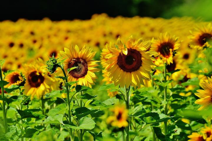 Sunflowers How To Plant Grow And Care For Sunflower Plants The