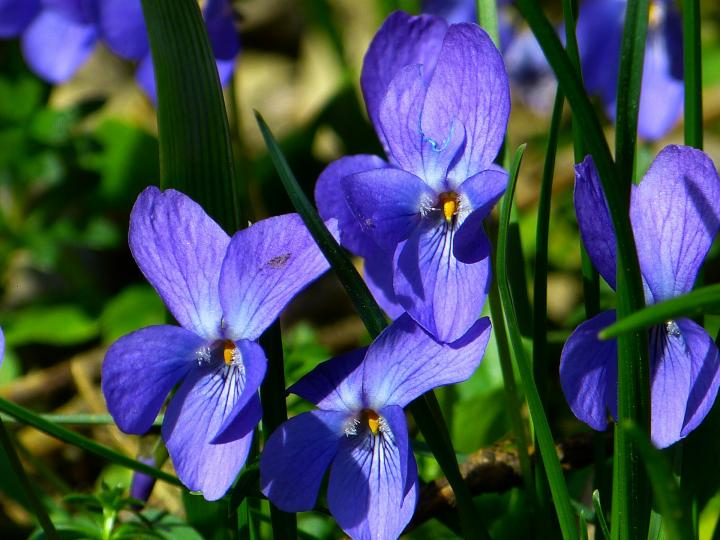 February birth flower, violet